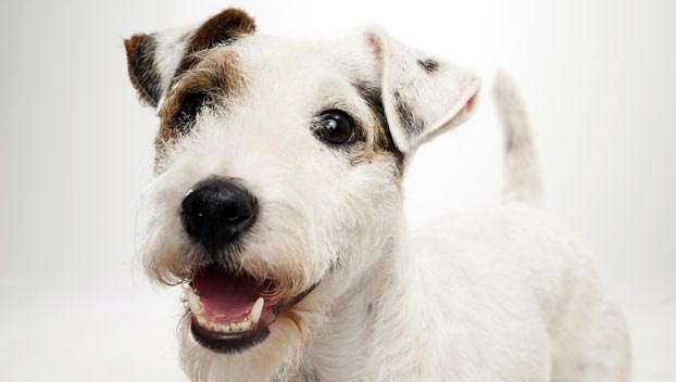 parson-russell-terrier_04_lg
