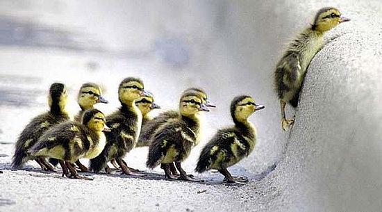 struggling-ducklings1